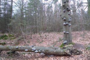 De tondelzwam, valt de boom dan draait hij om.